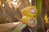 pic of maize  - Ripe maize corn ear in cultivated agricultural field ready for harvest picking - JPG