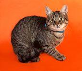 foto of yellow tabby  - Tabby kitten with yellow eyes in blue collar lying on orange background - JPG