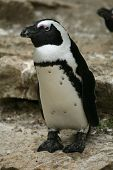 picture of jackass  - African penguin  - JPG