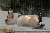 picture of wallow  - Przewalski - JPG