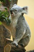 picture of eucalyptus leaves  - Koala  - JPG