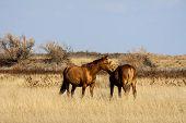 stock photo of steppes  - Steppe horses grazing in the Kalmyk steppe autumn - JPG
