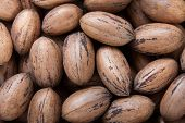 image of pecan tree  - Close up on pecan nuts in shells - JPG