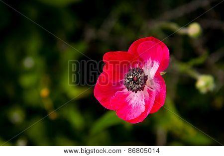 Red Anemone Coronaria Wild Flower
