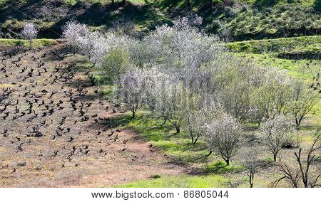 Almond Trees With White Blossoms In Spring