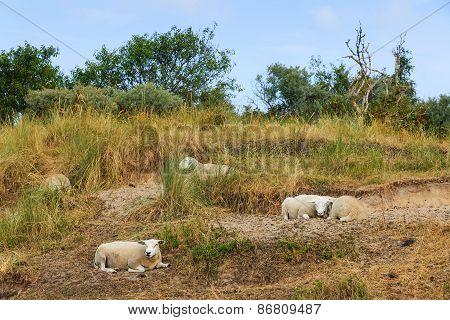 Sheep Resting Grass In Summer