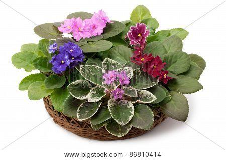 African Violet Saintpaulia Arranged In A Basket