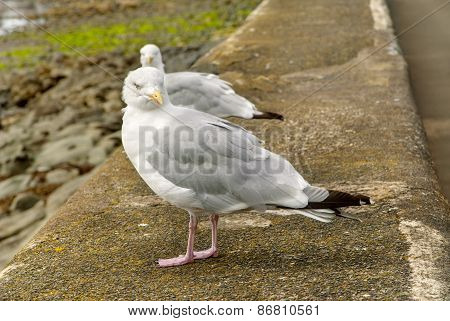 Two Herring Gulls (seagulls) Perched On The Harbour Wall