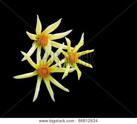 Yellow star Dahlia flowers