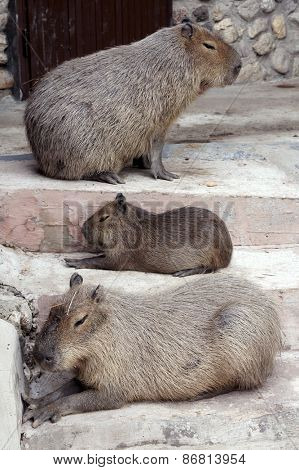 Three capybaras resting on the stairs