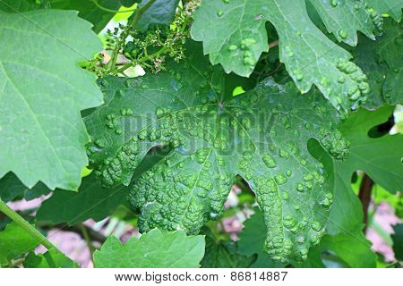 Diseased Grape Leaf After Spraying