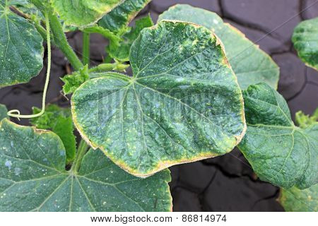 Cucumber Leaves With Yellowed Edges