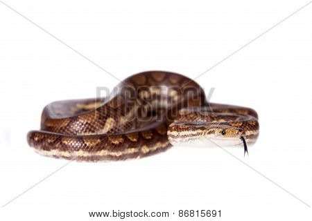 Rainbow Tree Boa On White Background
