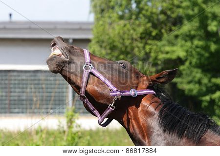 Funny horse showing its teeth in a comical way