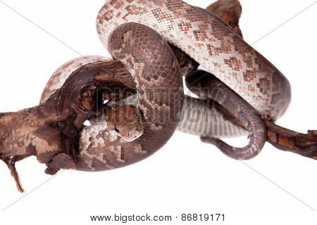Hispaniolan Boa On White Background