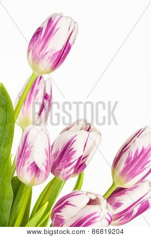 Vivid Pink And White Tulips Close Up