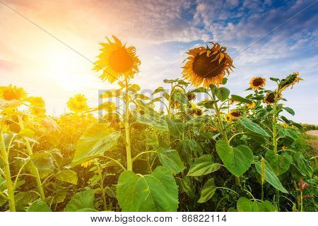 Majestic view of sunflower field glowing by sunlight. Dramatic morning scene. Ukraine, Europe. Beauty world. Retro and vintage style, soft filter. Instagram toning effect.