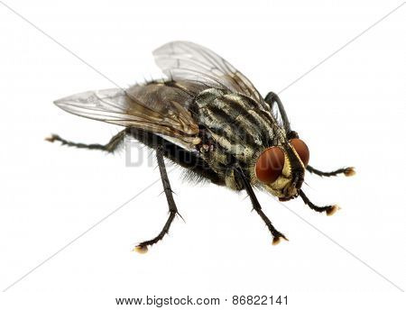 A macro shot of fly on a white background . Live house fly .Insect close-up