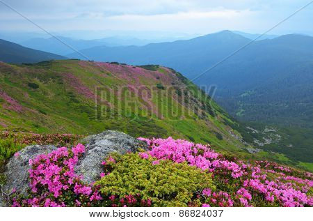 Summer landscape. Mountain flowers. Blooming rhododendron. Beauty in nature