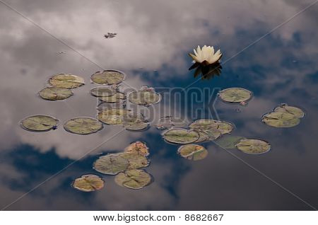Waterlilly In The clouds