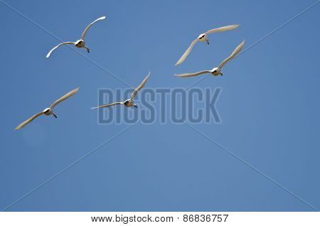 Five Tundra Swans Flying In A Blue Sky