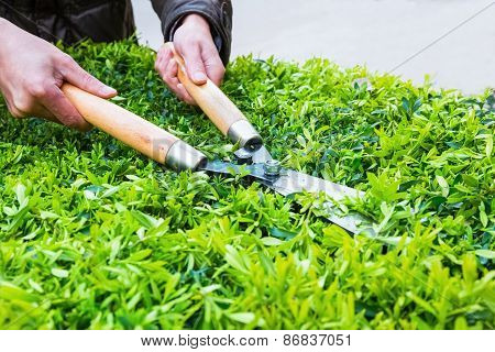 Trimming Bushes In Spring