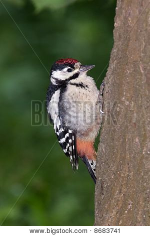 Great Spotted Woodpecker (dendrocopos Major).