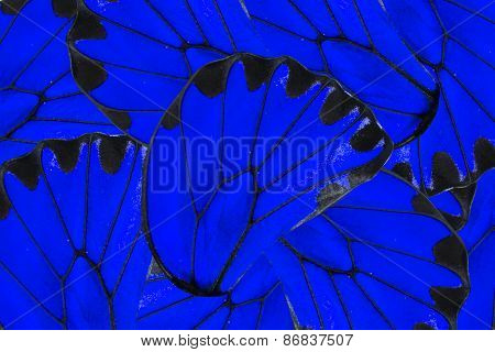 Blue And Black Background Of Golden Birdwing Butterfly