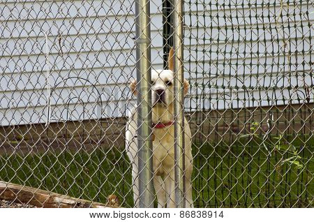 Fenced in Dog