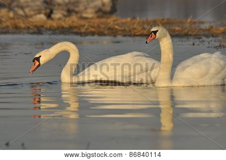 Swans Swimming On The River. A Pair Of Birds On The Water. Love And Faithfulness.