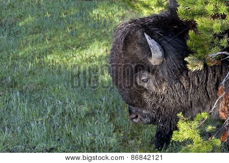 Dusty Bison In Pines