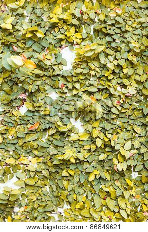 Yellow Leaves On Wall Texture Background