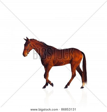 Chestnut Achal-tekke stallion horse isolated on white.