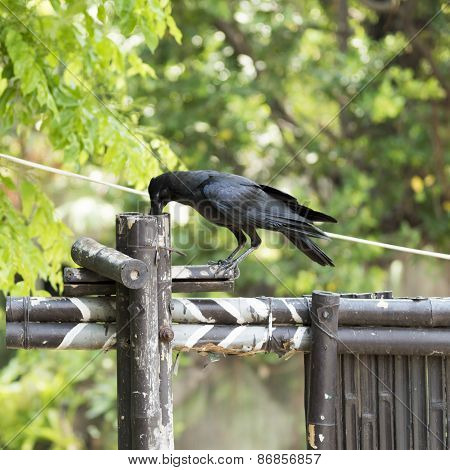 Corvidae Bird