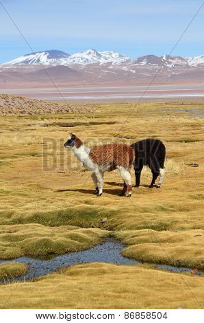 Llama on the Laguna Colorada, Bolivia