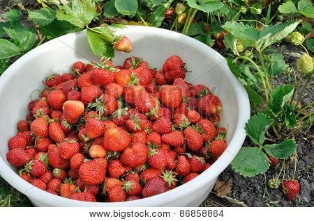 Close-up Of Fresh Ripe Strawberries
