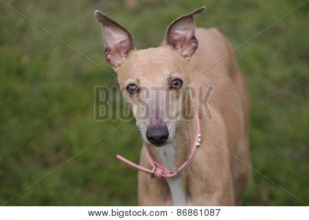 Whippet showdog