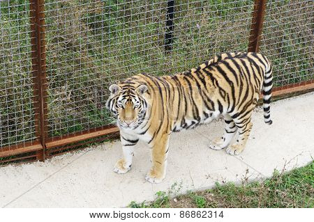 Tiger In Aviary,safari Park Taigan, Crimea.