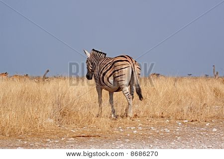 Plains Zebra (equus Quagga, Formerly Equus Burchelli)