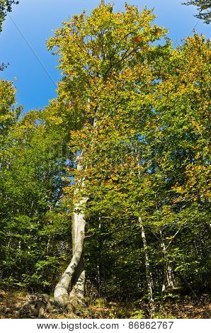 Beech forest in early autumn at Homolje mountains