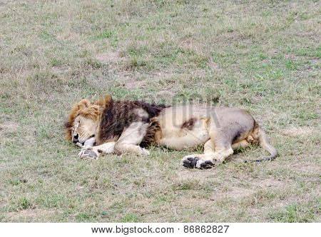 Sleeping Lion,safari Park Taigan (lions Park), Crimea.