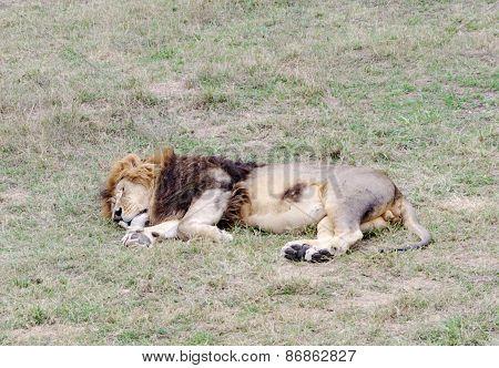 Sleeping Lion,safari Park Taigan (lions Park), Crimea.