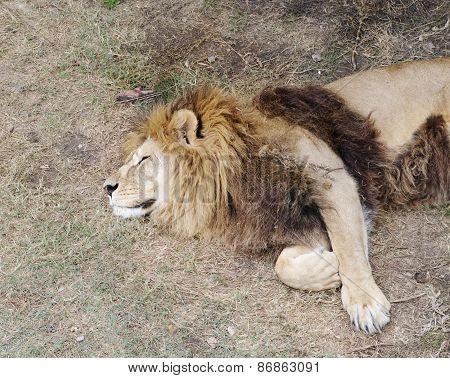 Sleeping Lion, safari Park Taigan, Crimea.
