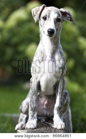 whippet puppy,  3 months