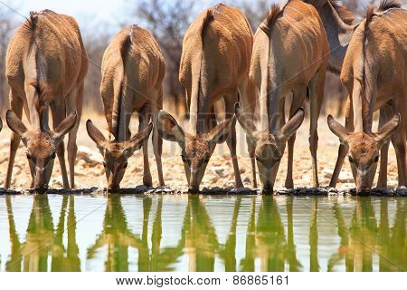 Five Female Kudu drinking from a waterhole