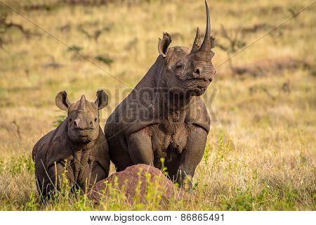 Black White Mother and Baby Rhino standing tall on termite hill