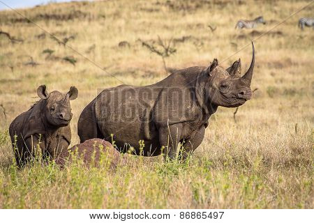 Black White Mother and Baby Rhino on lookout