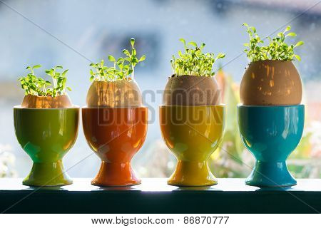 colored ceramic eggcups with egg shells with cress growing out