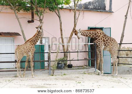 Giraffes In  Aviary, Safari Park Taigan, Crimea.