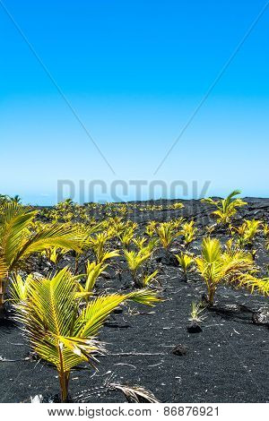 Seedlings on the lava field, Hawaii